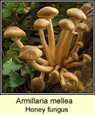 Armillaria mellea, Honey fungus