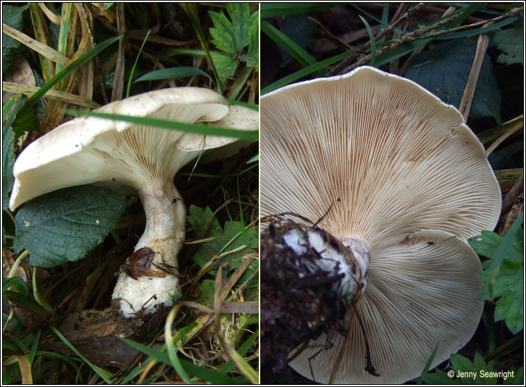 Clitocybe nebularis, Clouded funnel