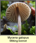Mycena galopus, Milking bonnet