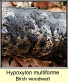 Hypoxylon multiforme, Birch woodwart