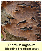 Stereum rugosum, Bleeding broadleaf crust