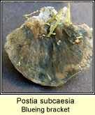 Postia subcaesia, Blueing bracket