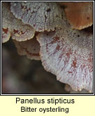 Panellus stipticus, Bitter oysterling