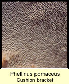 Phellinus pomaceus, Cushion bracket