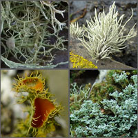 Fruticose and Filamentous lichens