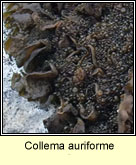 Collema auriforme, Jelly lichen