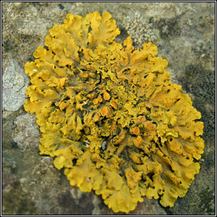 Xanthoria parietina - Wikipedia