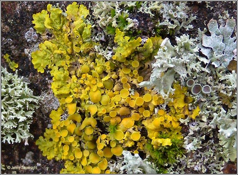 Irish Lichens Xanthoria Parietina