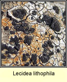Lecidea lithophila