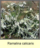 Ramalina calicaris