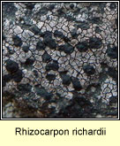 Rhizocarpon richardii
