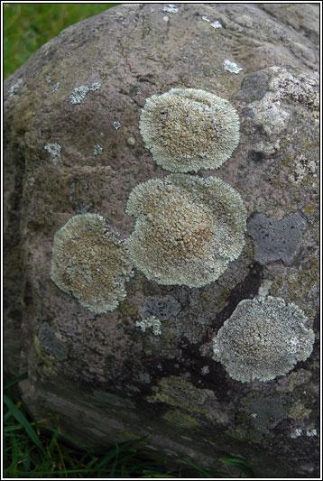 Irish Lichens Lecanora Muralis