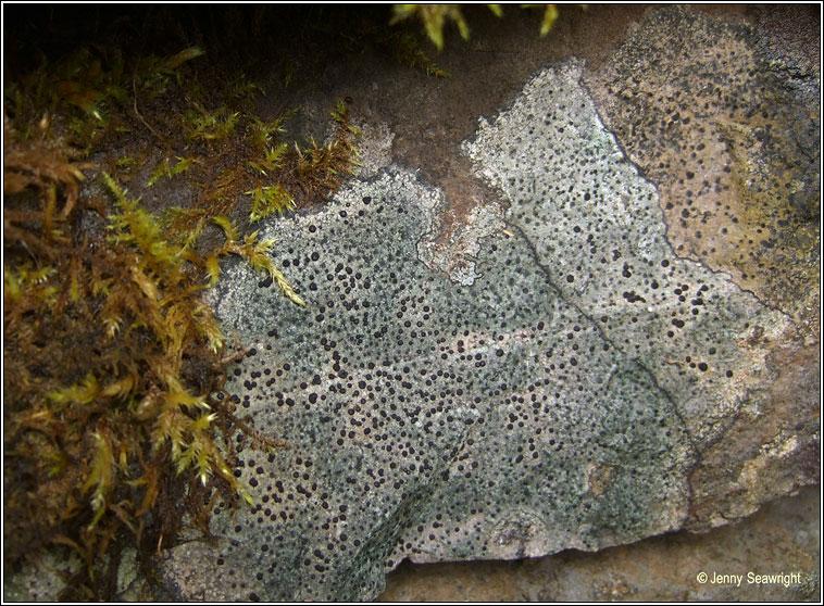 Rhizocarpon lavatum