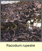 Racodium rupestre