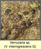 Verrucaria internigrescens Q