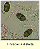Physconia distorta, microscope image