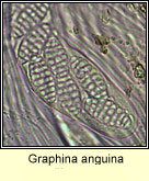 Graphina anguina, ascus and spores
