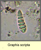 Graphis scripta, old spores micro photo