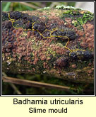 Badhamia utricularis, Slime mould